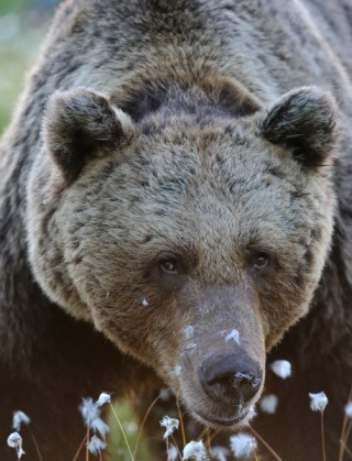 5494704-brown-bear-portrait